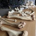 ミニ講座 アジアゾウの骨をしらべよう