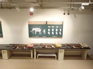 【New】体験ミュージアム ナウマンゾウの骨を組み立ててみよう