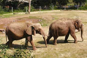 左がアフリカゾウ、右がアジアゾウ
